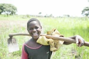 Cassava Harvesting Gulu Uganda 0049 960x638