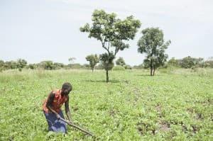 Harvest Time Gulu Uganda 0050 960x638
