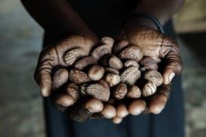Shea Butter Nut Production Gulu Uganda 0051  960x638
